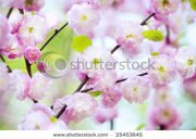 stock-photo-spring-cherry-blossoms-in-natural-background-25453645