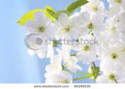 stock-photo-cherry-flowers-on-blue-background-46246030