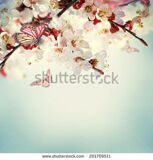 stock-photo-apricot-flowers-in-spring-floral-background-201709511