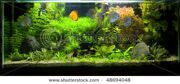 stock-photo-a-beautiful-planted-tropical-freshwater-aquarium-with-discus-fish-48694048