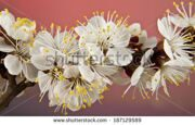 stock-photo-flowers-of-apricot-on-a-red-background-187129589