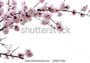 stock-photo-branch-with-pink-blossoms-isolated-on-white-158217185