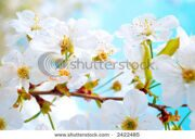 stock-photo-cherry-tree-branch-in-bloom-2422485