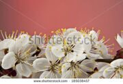 stock-photo-flowers-of-apricot-on-a-red-background-185038457