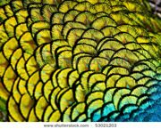 stock-photo-feathers-of-a-peafowl-53021203