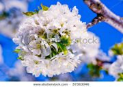 stock-photo-cherry-flowers-in-spring-in-full-bloom-57363046
