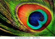 stock-photo-peacock-feathers-background-35770513