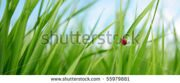 5 stock-photo-alone-red-ladybird-in-grass-55979881