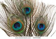 stock-photo-macro-of-peacock-feathers-isolated-on-white-63043588