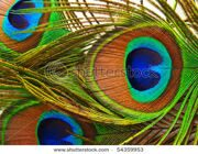 stock-photo-bright-feathers-of-a-peacock-close-up-54359953
